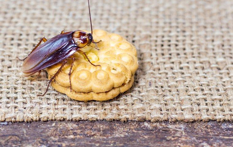 cockroach crawling on a cookie on a picnic table