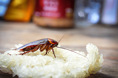 cockroach on food