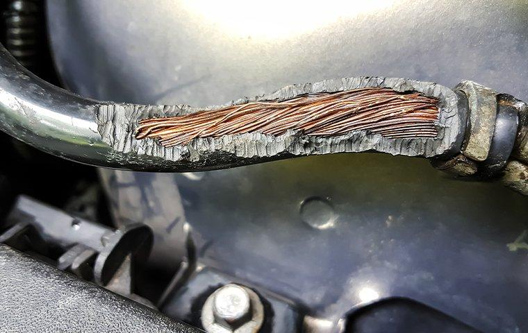 a thick electrical wire showing obvious signs of mice damage inside of a texas home
