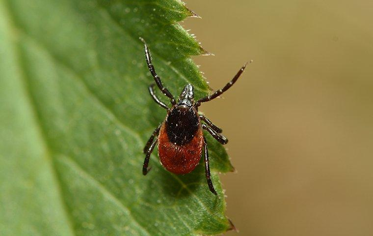 a red tinted deer tick crawling along a vibrant green leaf