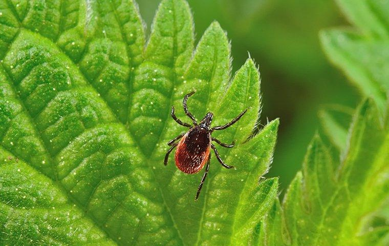 a small deer tick crawling up a vibrant green plant leaf in a frisco garden