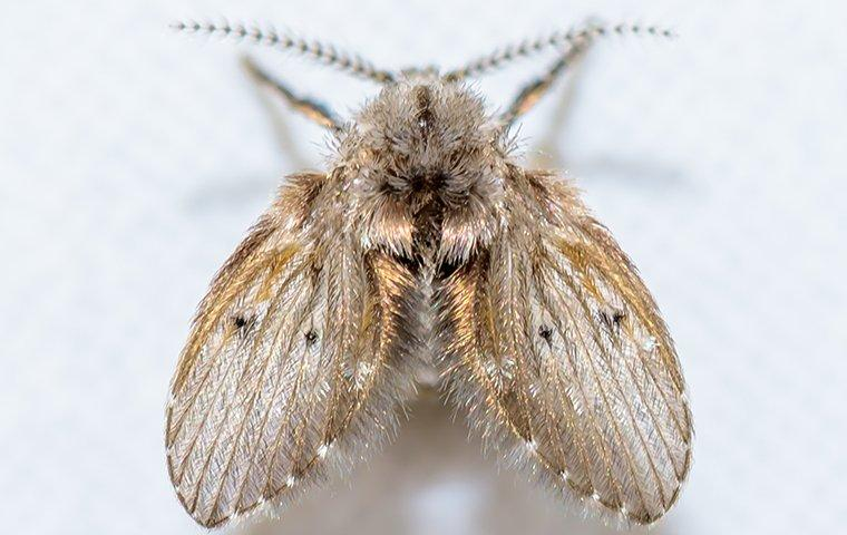 a drain fly in a lewsiville texas residential kitchen