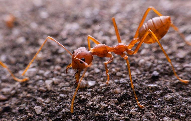 a fire ant crawling on the ground near a nest