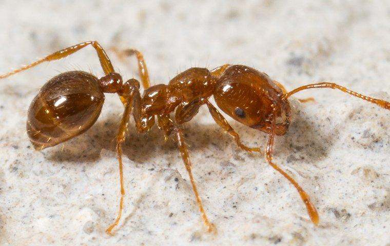 a colony of fire ants scurrying through a lewisville texas home