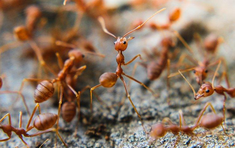 up close image of fire ants crawling on a log ready to eat