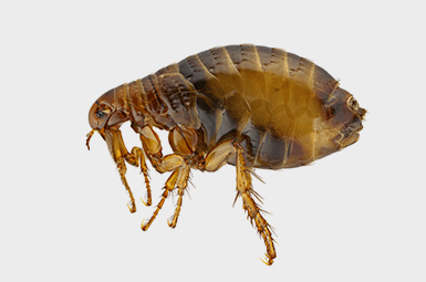 flea on gray background
