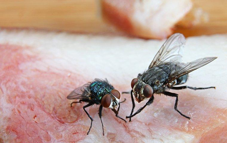 a family of flies feasting on a raw slab of meat in a frisco kitchen