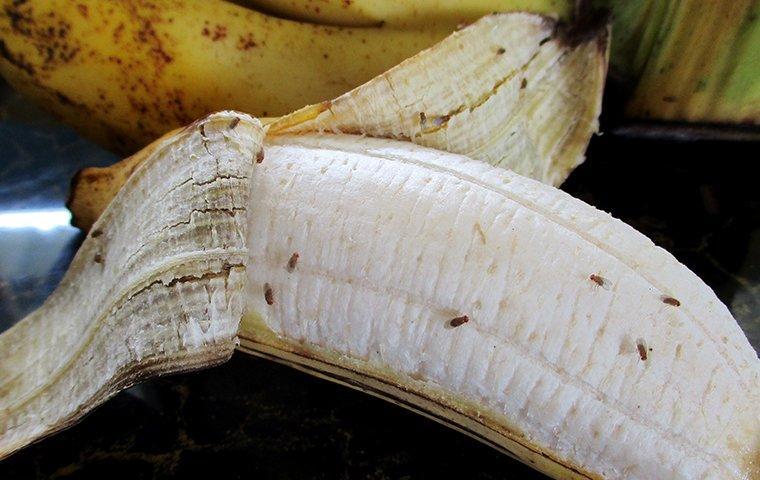 a large cluster orawlig along a ripe banana in a denton kitchencf fruit flies