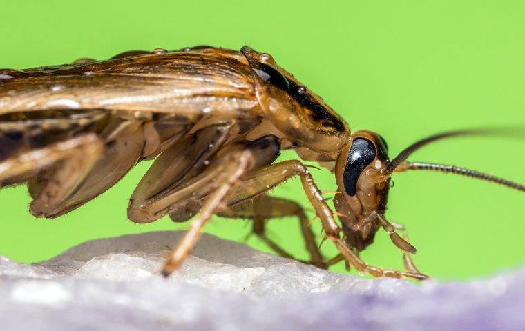 german cockroach crawling on a rock