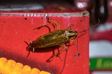 german cockroach in pantry