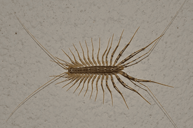 centipede crawling on wall