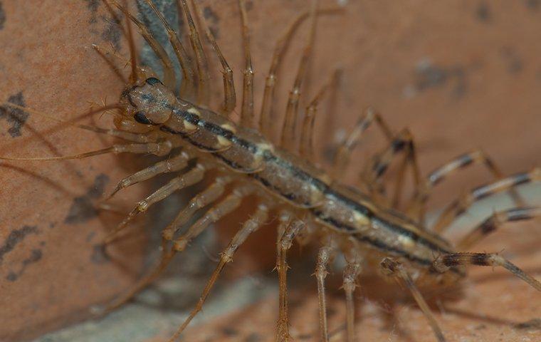 centipede in north texas home