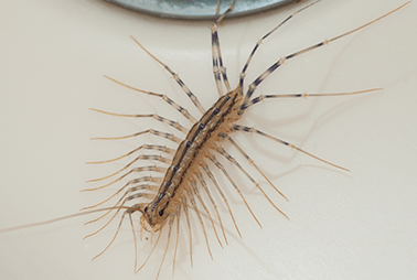 centipede in denton home