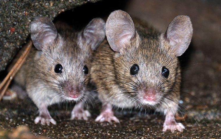 house mice crawling in the basement