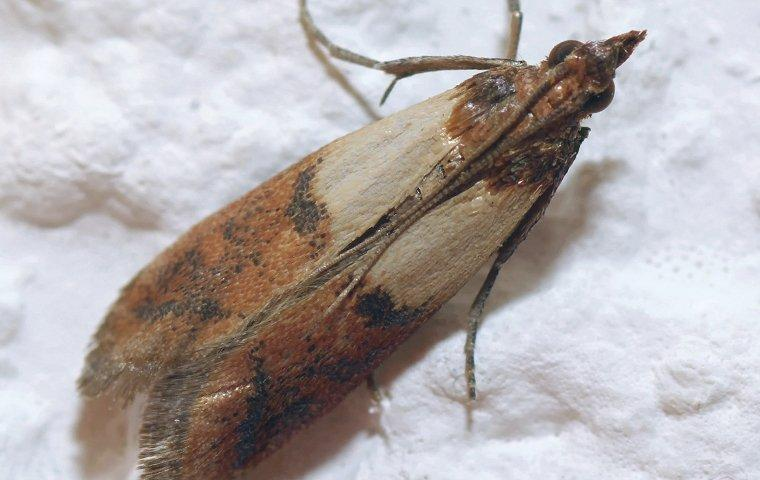 indian meal moth crawling on flour