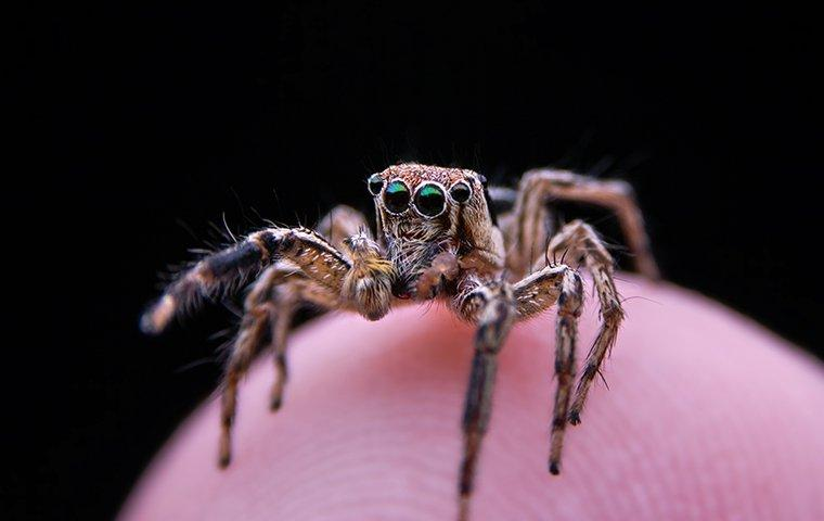 a close up image of a hairy jumping spider gazing as it balances on the finger of a frisco resident
