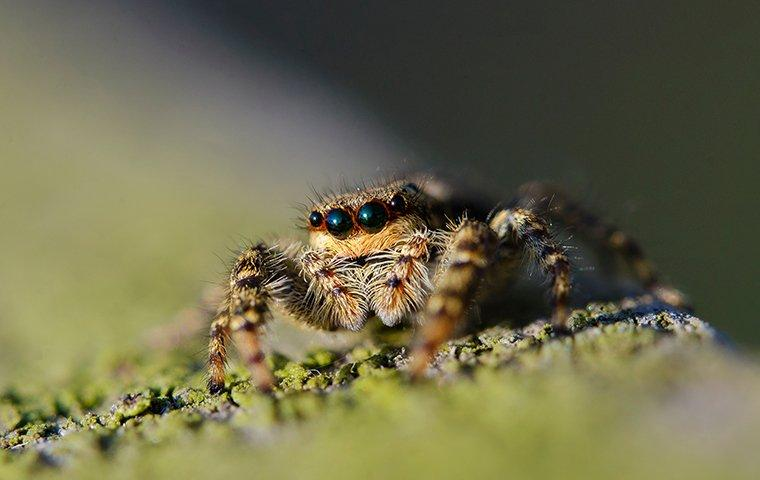 a small and hairy jumping spider crawling along a lewisville texas home durring summer season