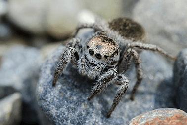 jumping spider on rock