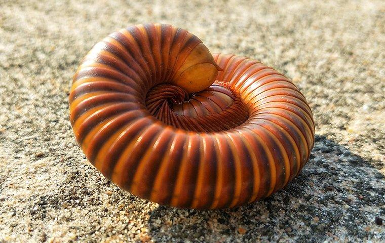 a millipede curled up on a driveway