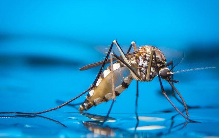 mosquito sucking on distilled water in a lewisville yard