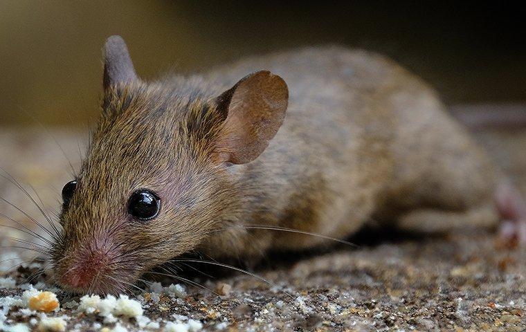a rodent infestation inside a frisco home