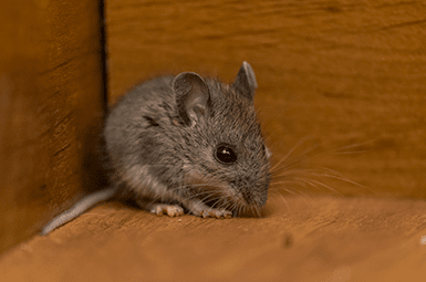 mouse found in the finished basement of a denton home