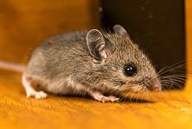 mouse crawling on floor of texas home
