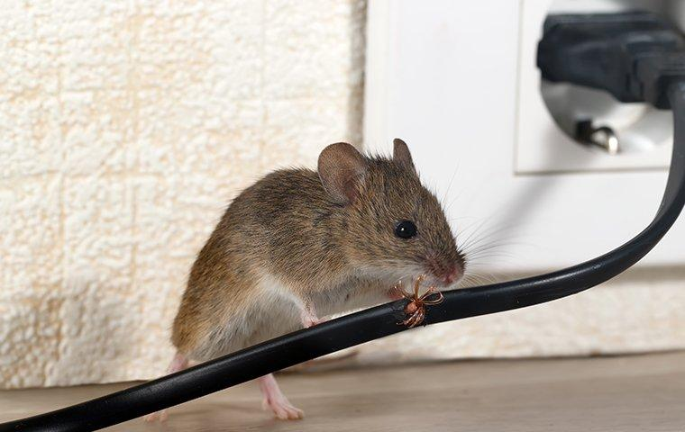 house mouse chewing wires