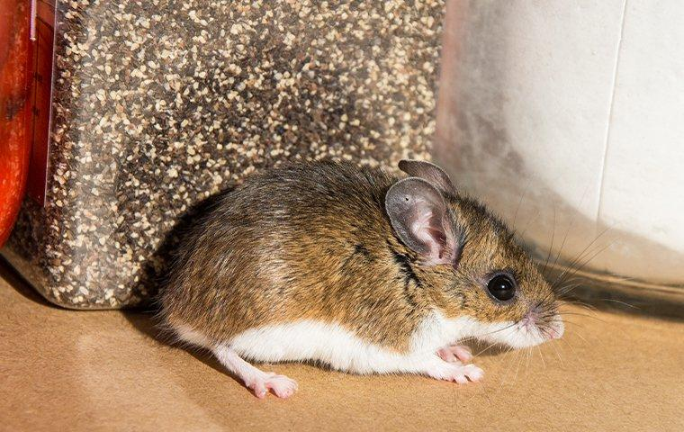 a house mouse crawling through the food pantry in a lewisville home during fall