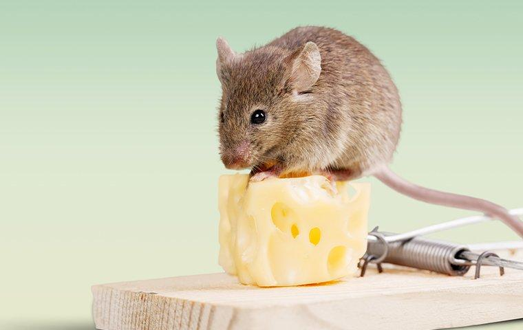 mouse on a piece of cheese