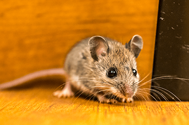 mouse found in denton home