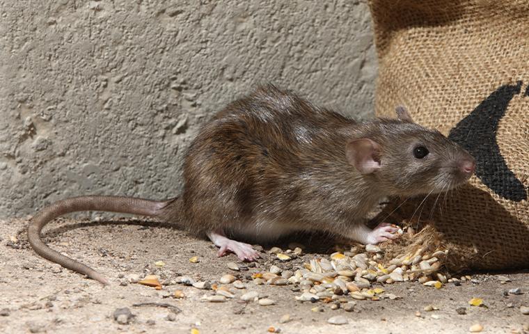norway rat in a garage