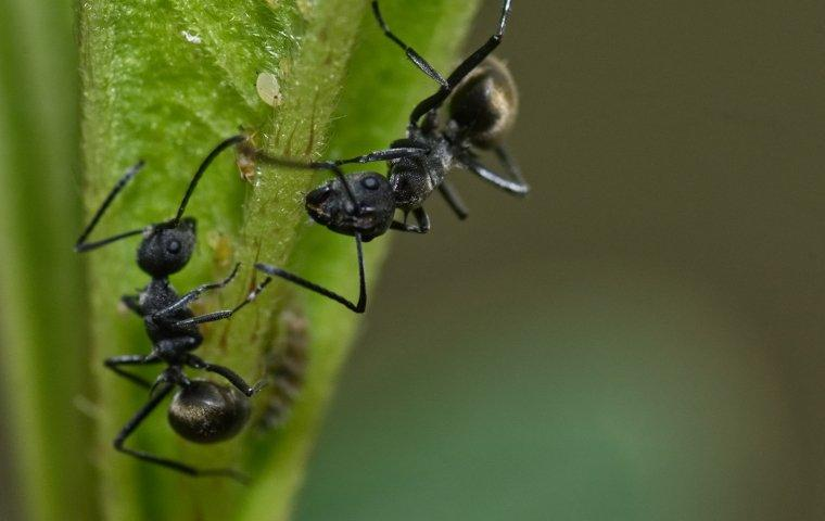 odorous house ant on plant