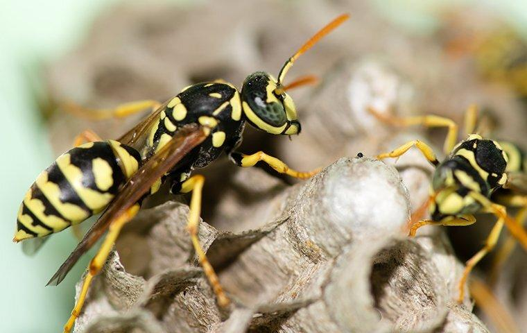 two wasps crawling on their nest