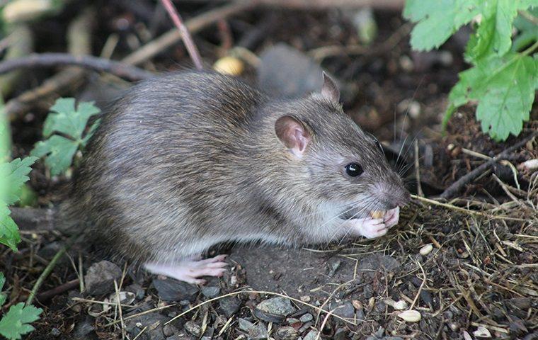 rat eating outside