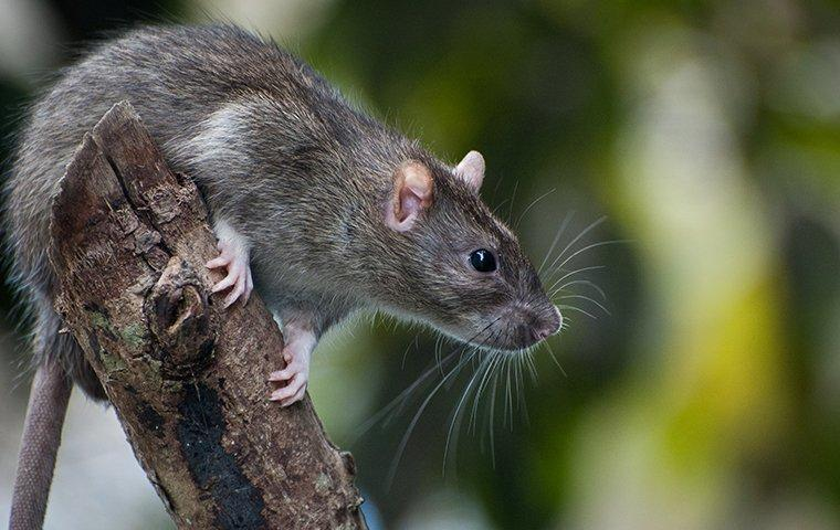 rat climbing a branch in a yard