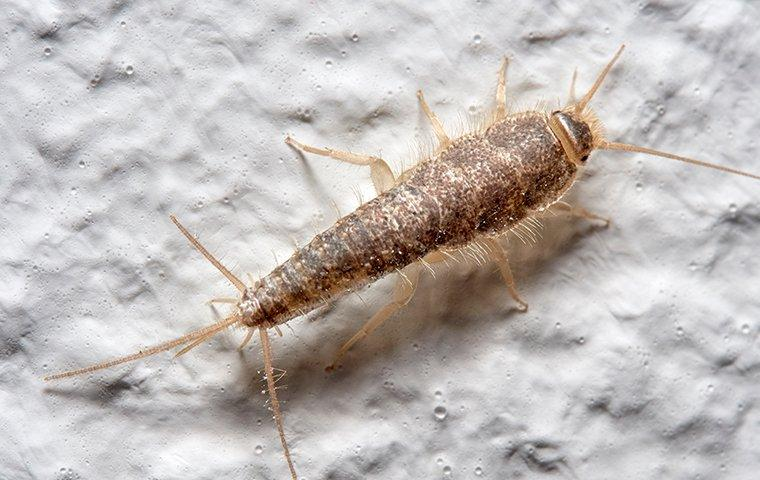 silverfish on white painted wall