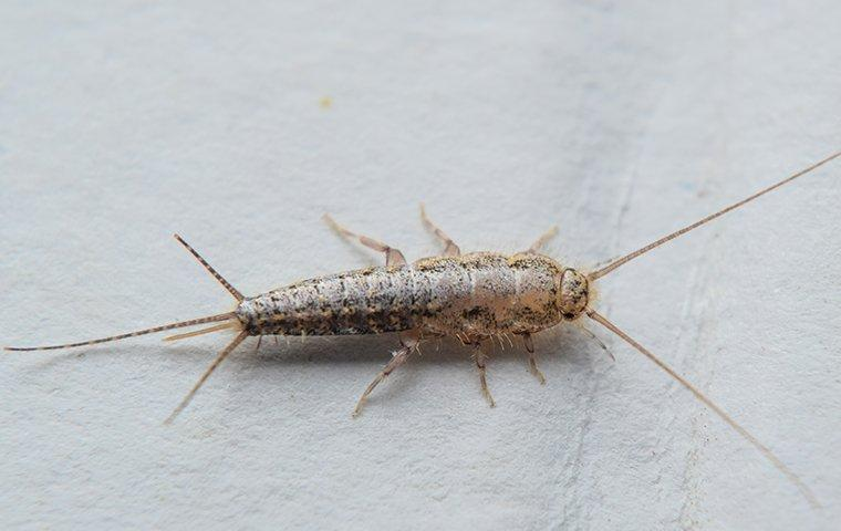 silverfish in north texas home