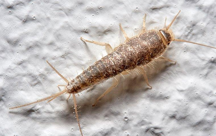 silverfish crawling on bathroom wall