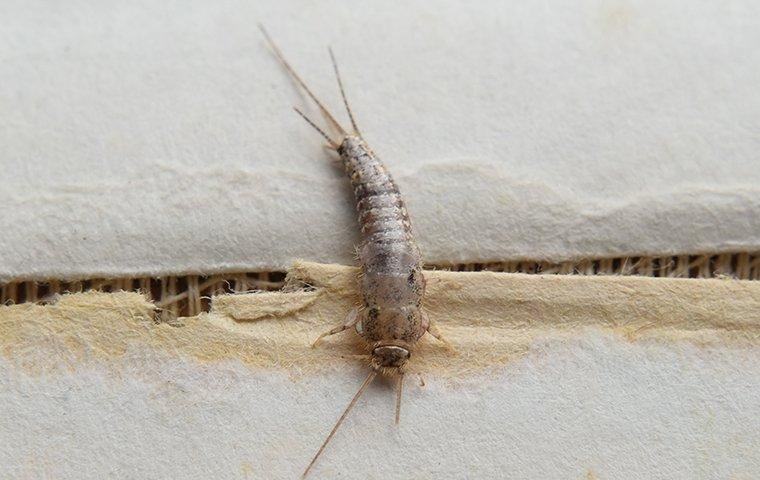 a shiny silverfish crawling along the wrinkled pages of a lewisville residents book