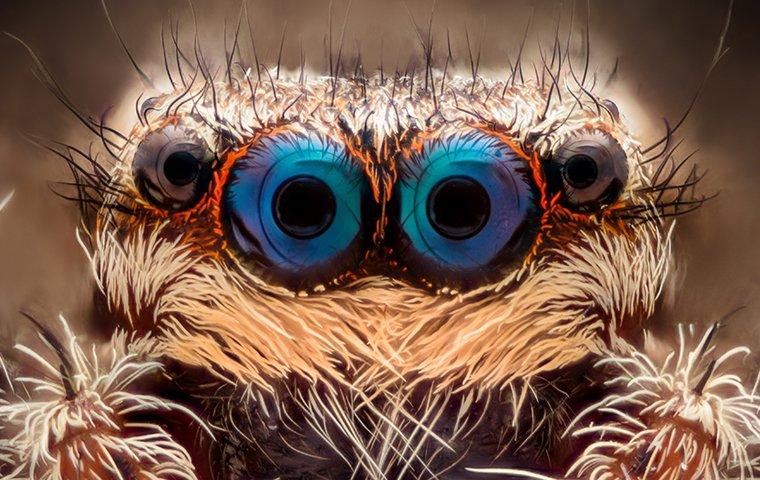 a jumping spiders eyes close up