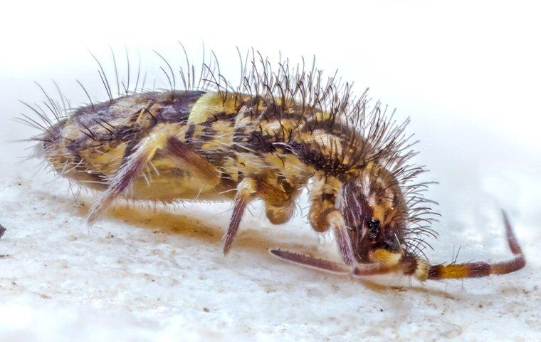 a springtail crawling n a tile floor