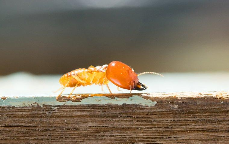 a termite crawling along a wooden struture inside of the walls of a denton texas home