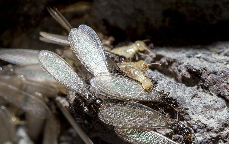 termite swarmers up close