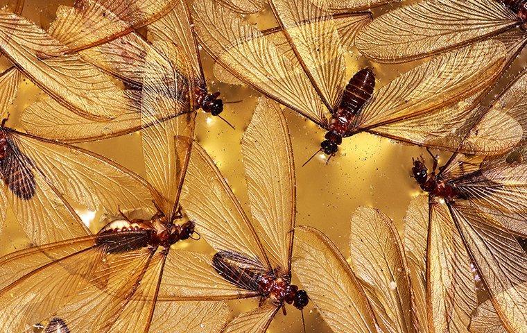 termite swarmers landing in water