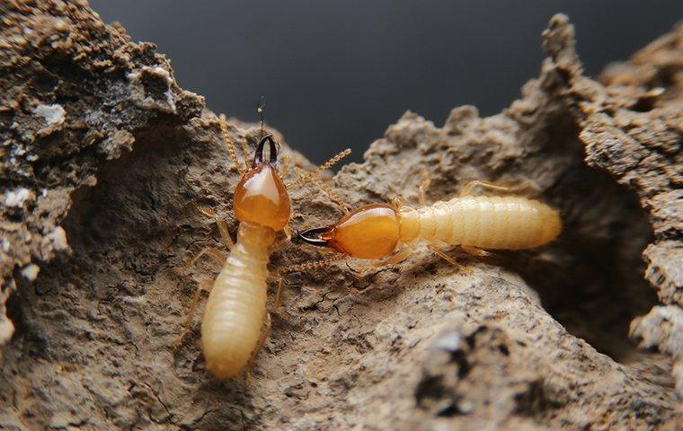swarm of termites crawling over each other and damaging lewisville property