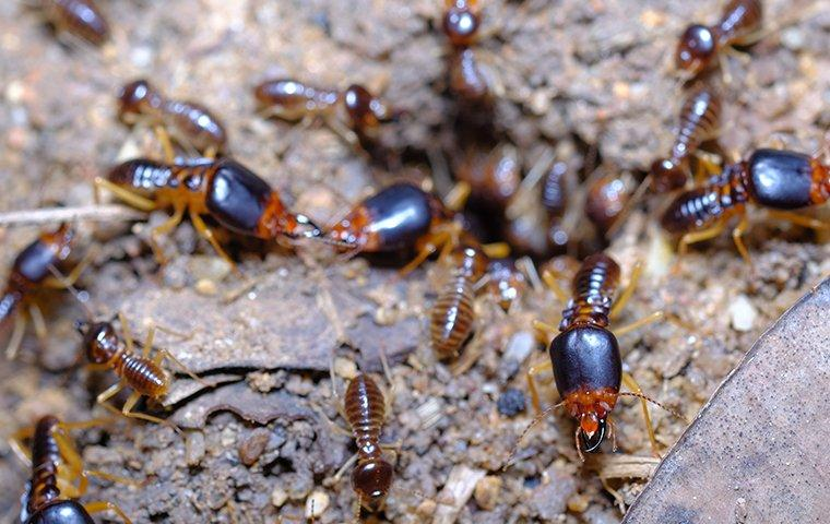a large colony of worker soldier termites swarming through the wooden structure of a frisco texas home