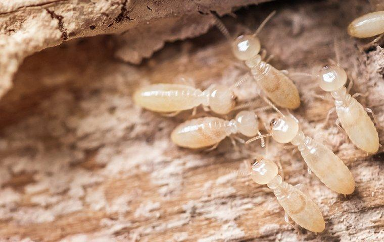 termite infested wood