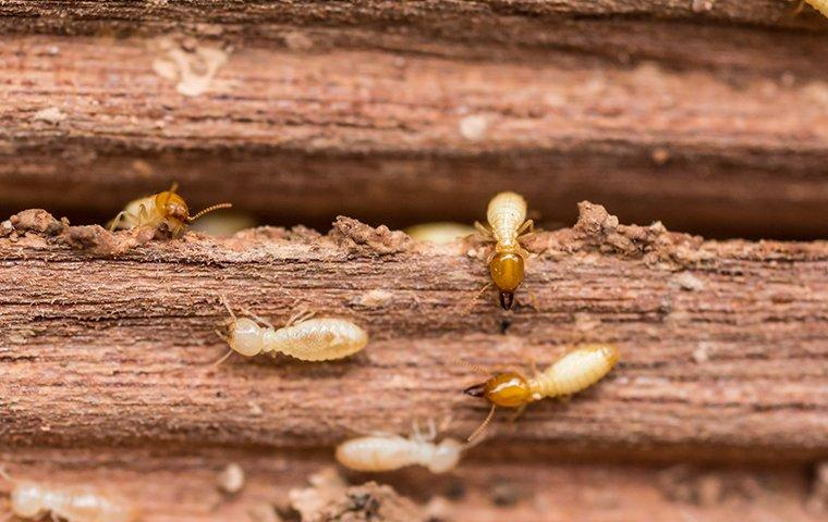termites crawling on wood in a home