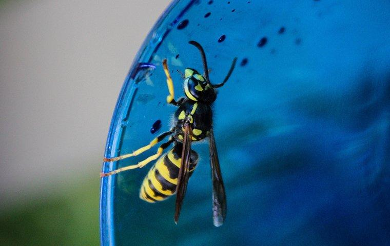 a black and yellow wasp balancing along the rim of a water glass on a lewisville property